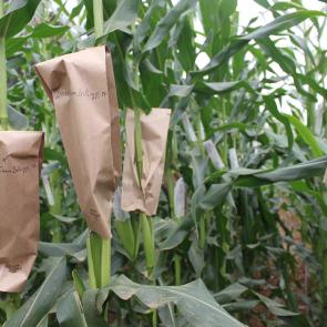 maize breeding prog